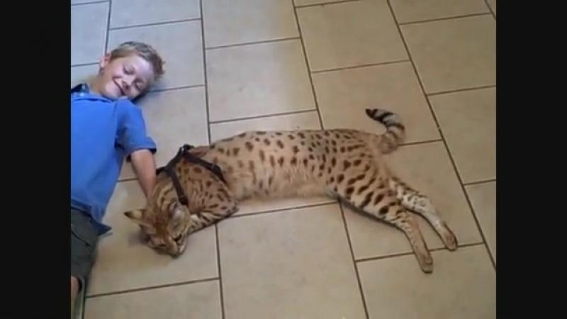 Кошка. Порода Саванна