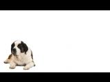 videoblocks-st-bernard-lies-on-a-white-background_slrtdmldf_PM