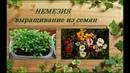 Немезия выращивание рассады