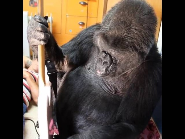 Flea Koko [The Gorilla Foundation]