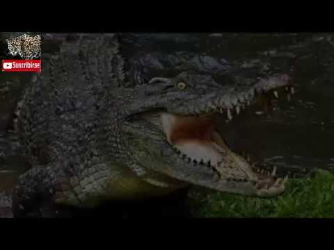 Anguila eléctrica mata un cocodrilo