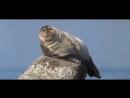 Ничего особенного, просто икающий тюлень