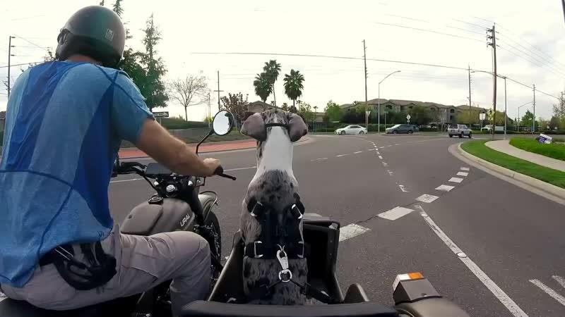 Waffles the Sidecar Dog