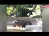 Отшлепал бегемота в зоопарке