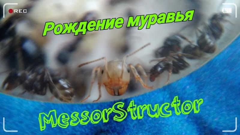 Рождение муравья| Messor Structor.(Ускорение 2х)
