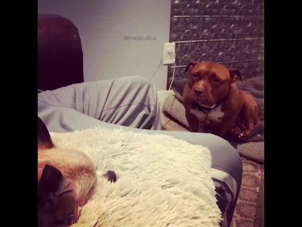 Pitbull Whines After Being Denied Access to Couch - 991265