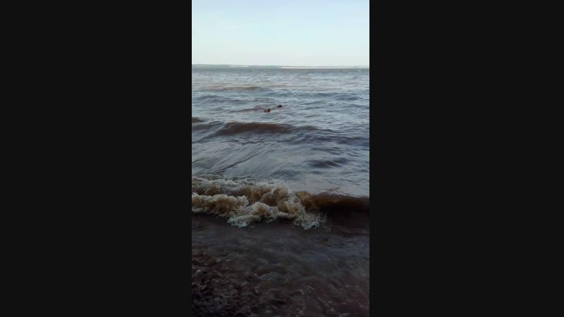 Груша- морской волк