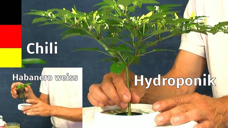 Mini Chili in neues Hydroponik System überführen 10 Liter Behälter selber basteln ganz einfach
