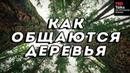 КАК ОБЩАЮТСЯ ДЕРЕВЬЯ - Сьюзен Симард - TED на русском