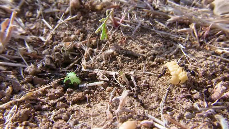 Живая Муравьина Ферма. Эксперимент и реакция муравьев