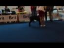 Моно Кане Корсо 2018 г.(суки ,класс Открытый и Победителей )