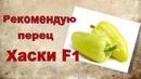 Перец высокоурожайный Хаски F1,рекомендую посадить