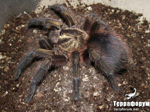 Phormictopus-auratus