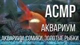 ASMR Звук работы фильтра. Аквариум. Сомики, золотые рыбки.
