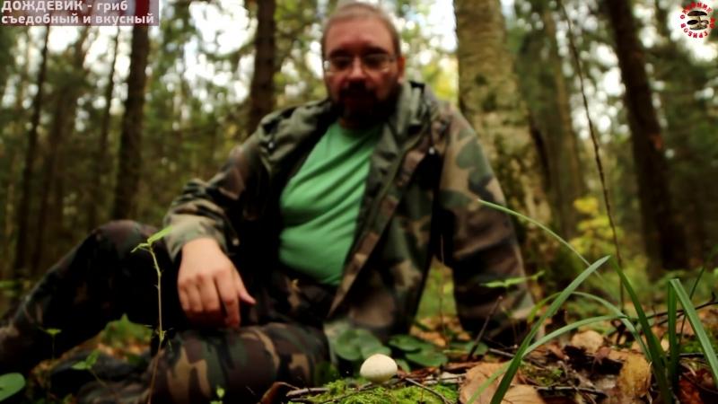 Дождевик - вкусный и недооцененный гриб GRIB.tv