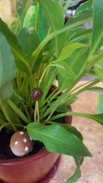 доброго времени) кто-то подсадил семечки в спатифиллум. подскажите, пожалуйста, что взошло )))