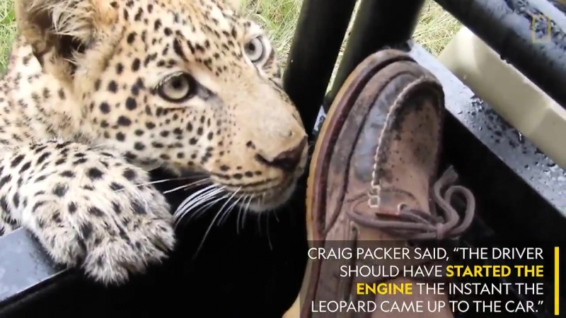 This close encounter could have been disastrous for both human and leopard