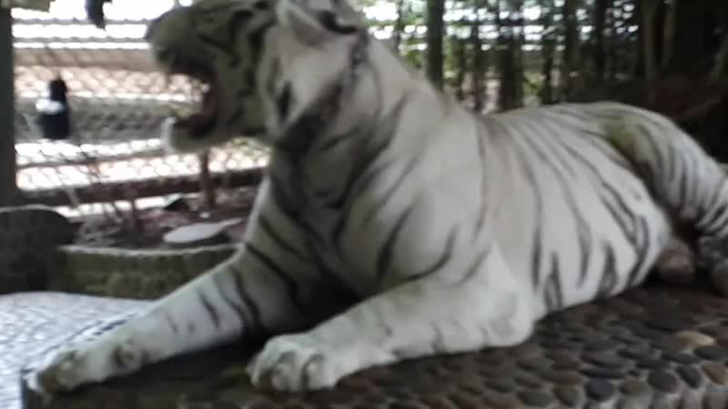 обкуреные тигры