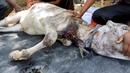 Телёнок задыхающийся от накинутой на шею верёвки Calf slowly choking from embedded rope rescued