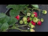 Как правильно использовать золу в качестве удобрения