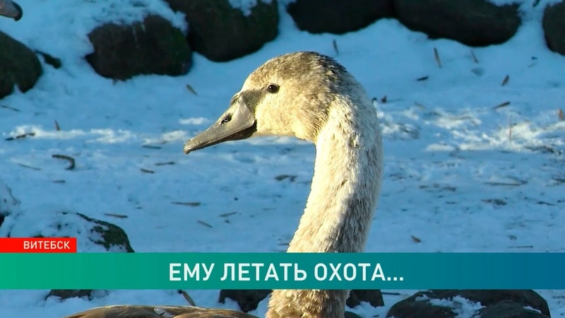 Лебедь-толстячок из Витебска не смог улететь на юг