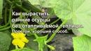 Как вырастить ранние огурцы без отапливаемой теплицы Простой хороший способ