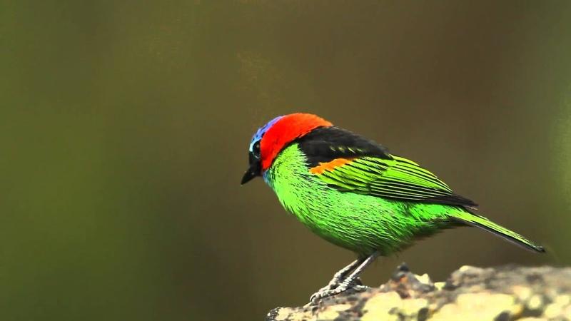Red-necked tanager / Синешапочная танагра / Tangara cyanocephala