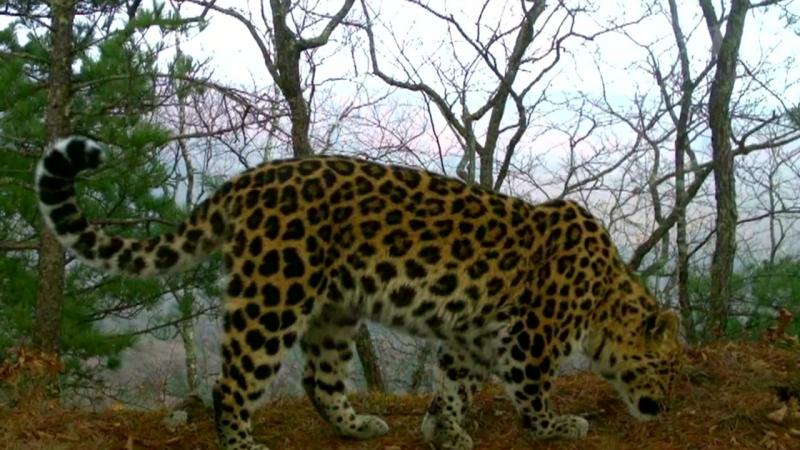 Мать-героиня Грация и другие леопарды.