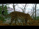 Мать героиня Грация и другие леопарды