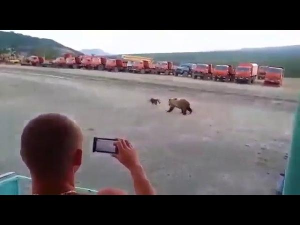 Медведь пытается открыть общагу вахтовиков.