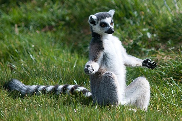 Йога с лемурами новое слово в зоотерапии! Один из отелей Великобритании предлагает своим гостям необычную оздоровительную услугу занятия йогой с лемурами, или «лемогу». В Озёрном крае горном