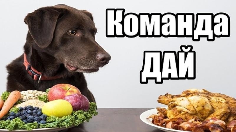 Как научить собаку делиться. Как научить собаку команде дай. Как правильно давать команды собаке.