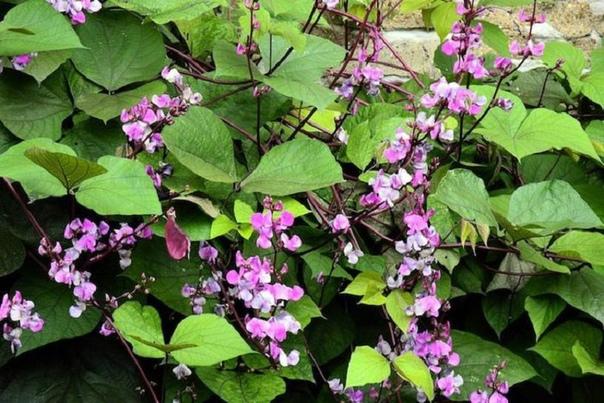 долихос долихос обыкновенный по-научному называется лаблаб, в народе часто можно услышать вьющаяся сирень или же удивительная лиана. долихос это травянистая лиана, листья у которой напоминает
