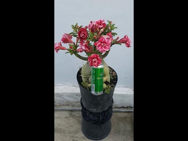 Hoa sứ Vĩnh lộc 5