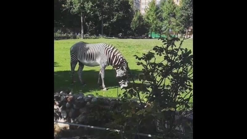 Мсквааа и зебра