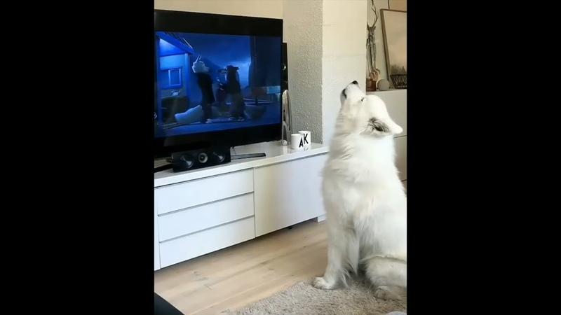 Samoyed is watching Zootopia