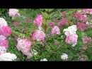 8905 переменчивая ванилла Фрайз и Вимс Рэд цветение конец августа