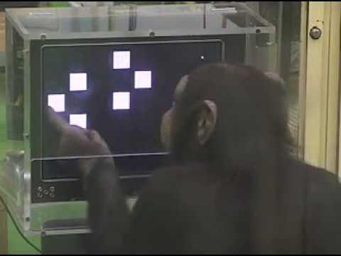 Superior chimpanzee memory