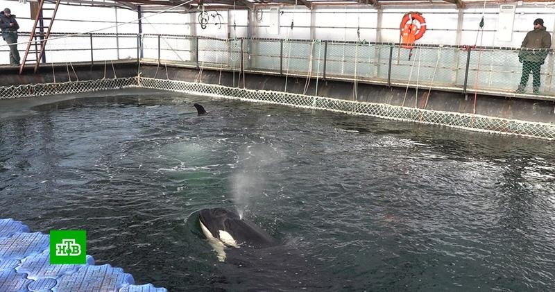 Путин поручил до марта решить судьбу косаток в «китовой тюрьме» в Приморье