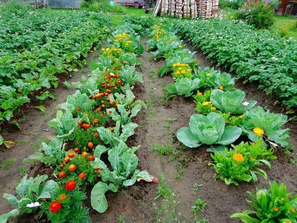 Овощи которые сажают рядом друг с другом