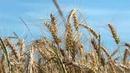 00219-Ear of wheat in swing
