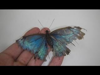 Старенькая голубая морфа