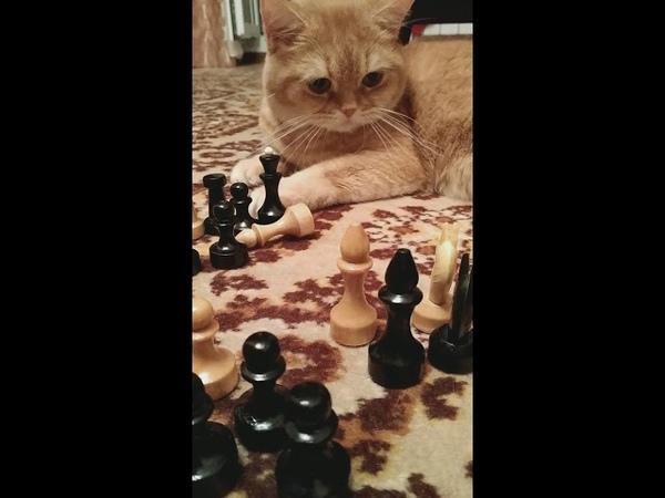 Playing chess with my cat Garfild Играем в шахматы с котом