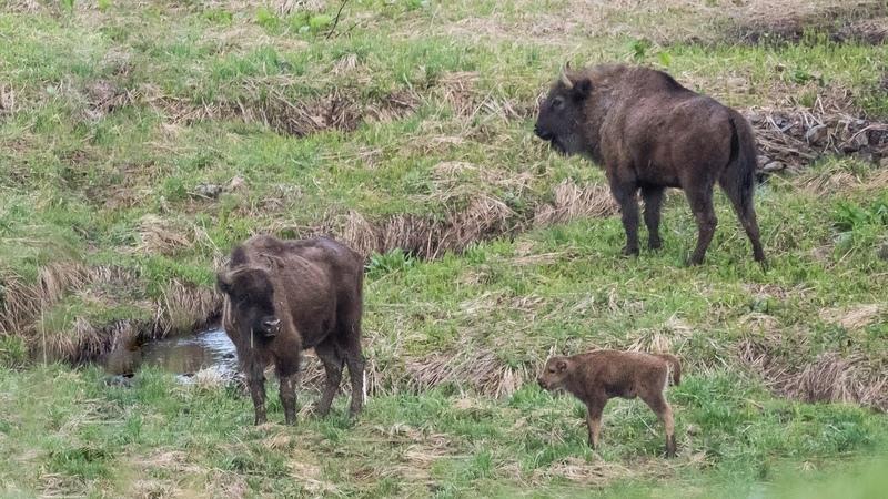 4-9 мая 2018 - Кавказский заповедник: Пшекиш - Козлиные поляны (много животных)