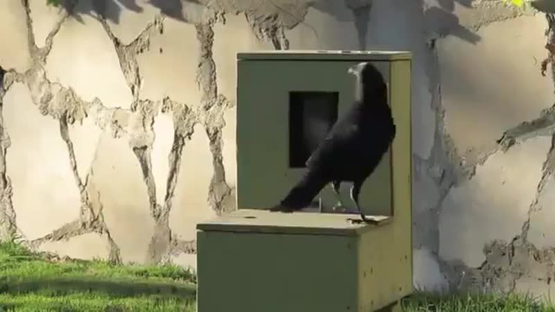 This man built a coin operated feeding box for crows And this is the proof crows can use a vending machine