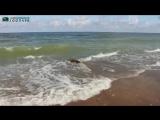 В Балтийское море выпустили спасенных тюленей