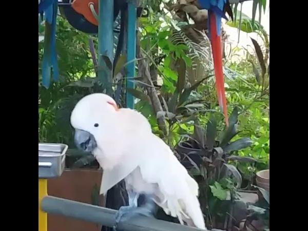 Музыкальный туки (попугай )