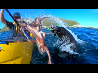 Brutal octopus slap by a seal caught on gopro hero7black in nz kaikoura (short story)
