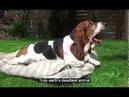 Earth's deadliest animal: basset hound
