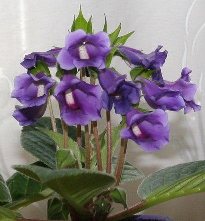 тидея тидеи - это теже глоксинии, только с другой формой цветка. вернее - все наоборот, глоксинии - это тидеи с искуственно выведенной формой цветка. в природе современная глоксиния(sinningia)